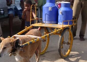 दिन-दिनै दुध बेच्ने जाने अ'नाैठाे कुकुर, जो गाउँमा घर–घरमा गएर दुध बाड्न सघाउछ (भिडियो सहित)